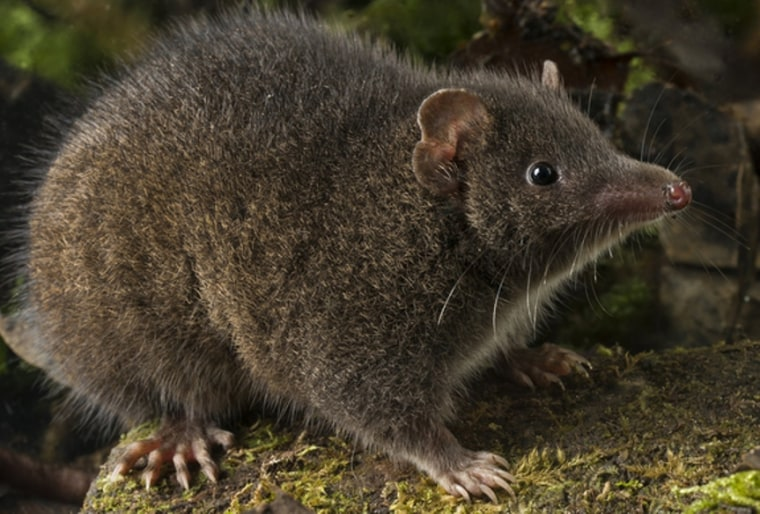 Fatal Attraction: These Sex-Crazed Male Marsupials 'Do It' to Death