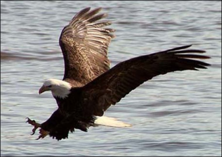 IMAGE: Bald eagle
