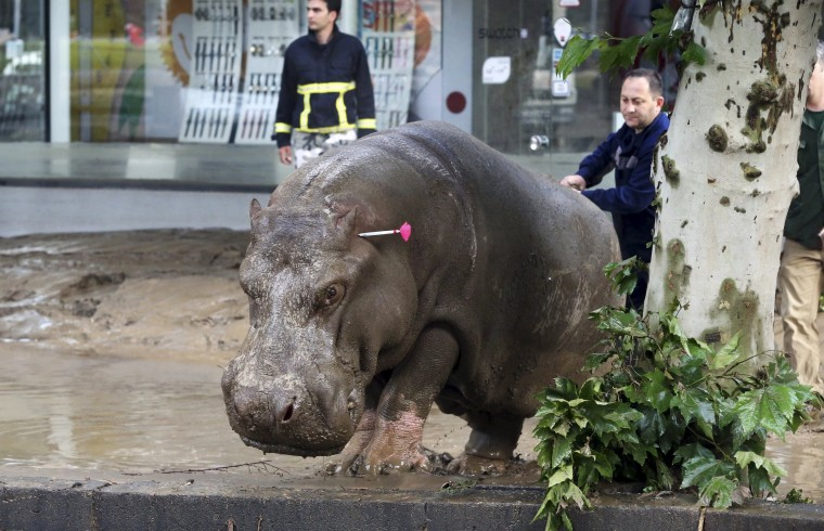 Image: A man directs a hippopotamus after it was shot with a tranquilizer dart at a flooded street in Tbilisi