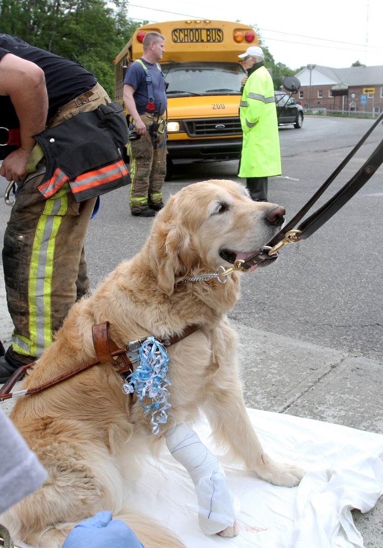 Figo, an injured guide dog waits to be transported to Middle Branch Veterinarian