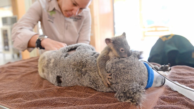 Baby koala holds on to mom during her life-saving surgery