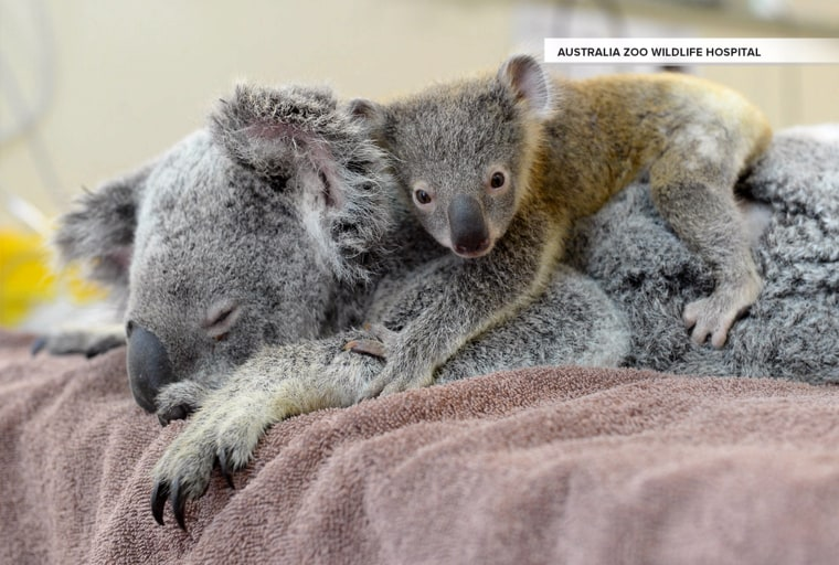 Baby koala hangs on to mom during life-saving surgery