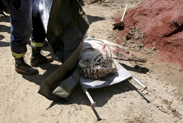 Image: White tiger, that had escaped from its enclosure during flooding, lies on the stretchers after it was killed by police in Tbilisi