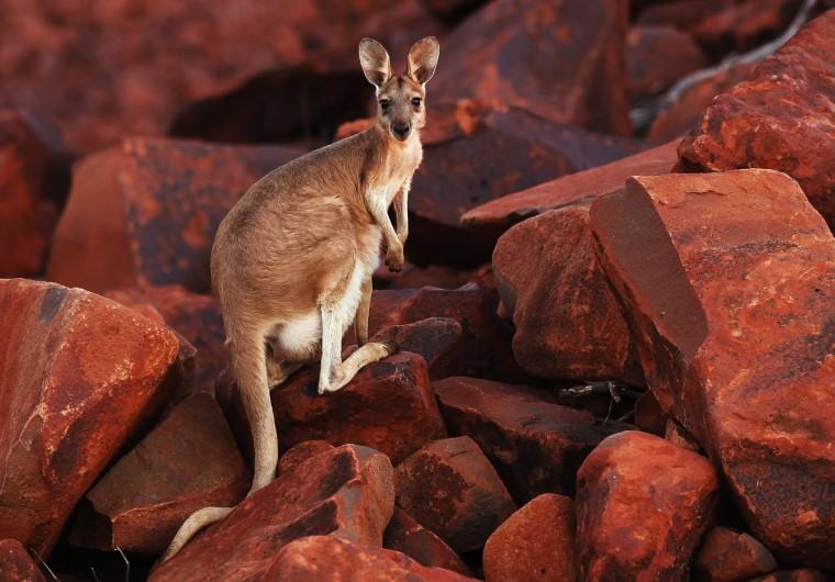 Image: Kangaroo in Western Australia