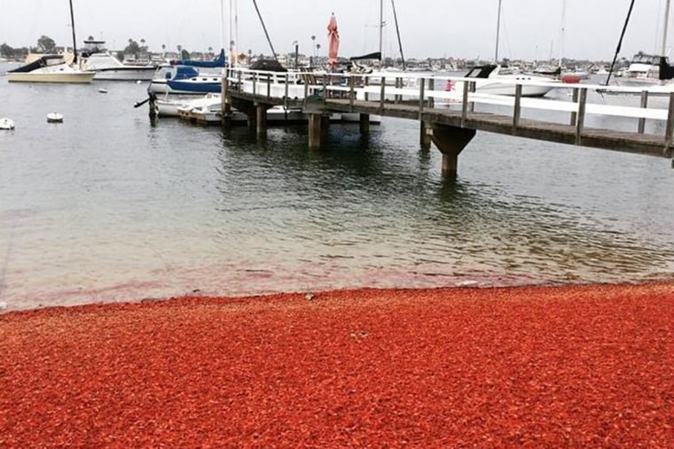 Thousands of tuna crabs were washed up on the shores of Balboa Island in southern California on June 16.