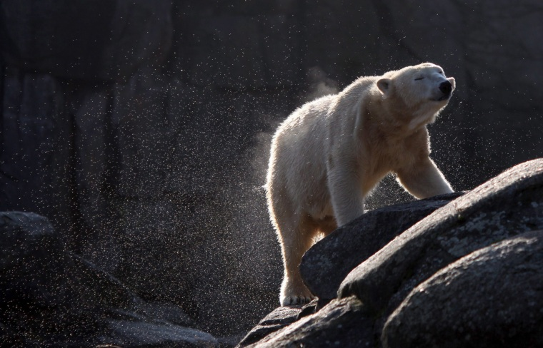 Image: Polar bear Tosca in 2011