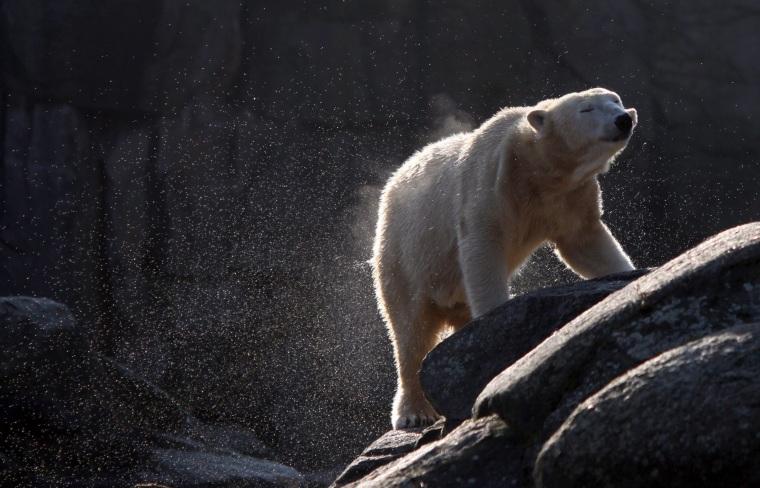 Image: Polar bear Tosca in 2011