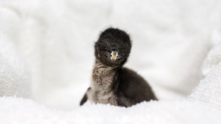 Shedd's newest penguin resident