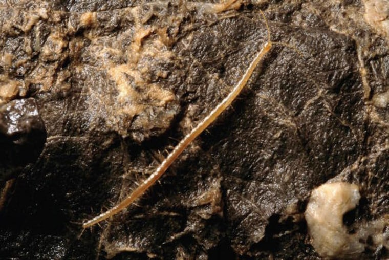 Newly Discovered 'Hades' Centipede Dwells Deep Below the Earth's Surface