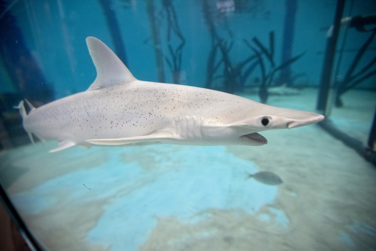 Image:  A Blacknose shark