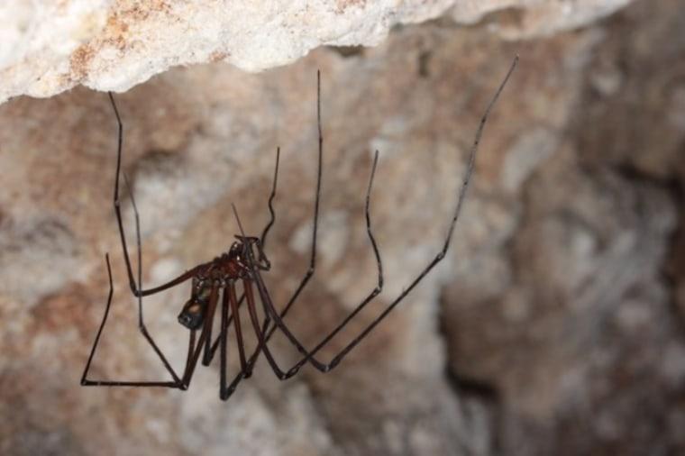 Image: Tasmanian cave spider