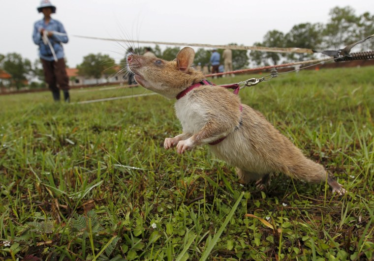 Image: A rat being trained by the Cambodian Mine Action Centre (CMAC) is pictured on an inactive landmine field in Siem Reap province