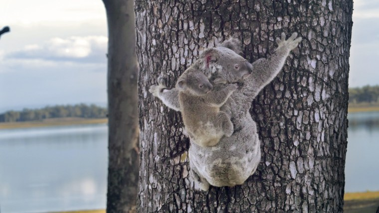 The Australia Zoo announced that Lizzy has recovered and both koalas have returned to their natural habitat.