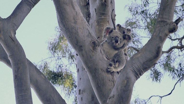 "Lizzy, the mother koala to baby Phantom, had been hit by a car near Brisbane in June, and suffered some ""face trauma and a collapsed lung"" before the Australia Zoo performed surgery on her and released both koalas back into the wild."