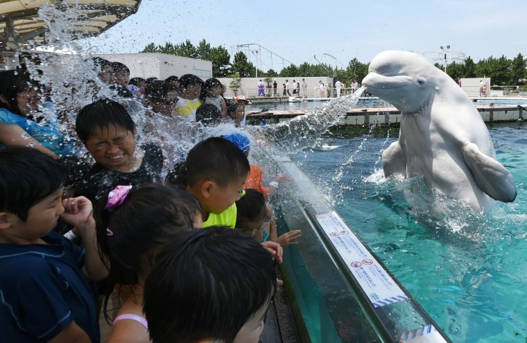 Image: A beluga whale sprays water towards visitors