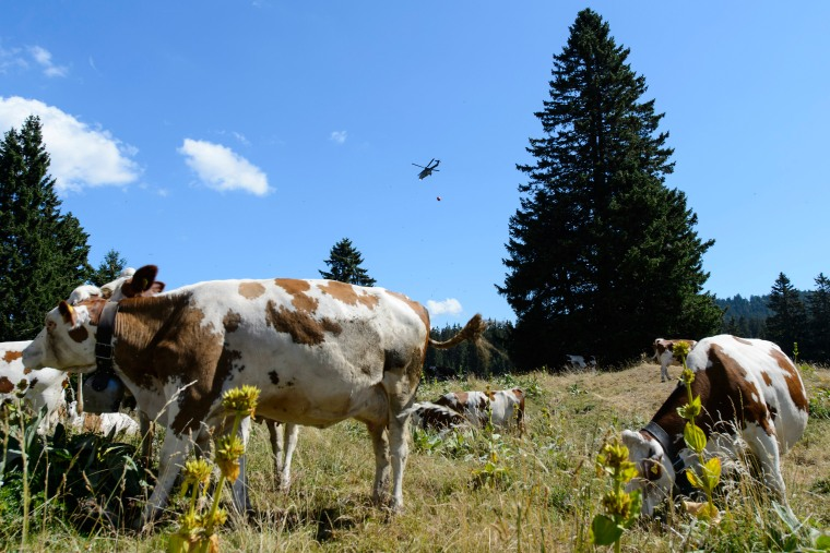 Image: A Swiss military helicopter delivers water to cows