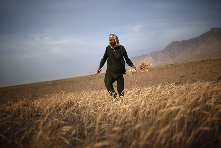 Image: Afghan man harvests wheat on the outskirts of Kabul
