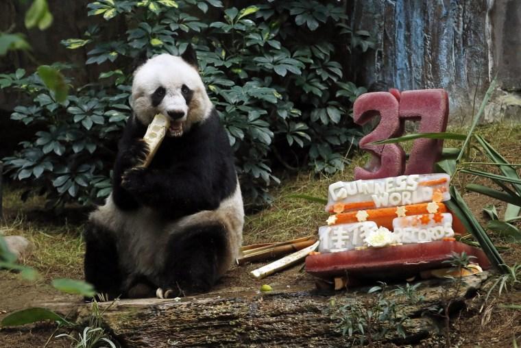 Happy Birthday, Jia Jia: World's Oldest Giant Panda Turns 37