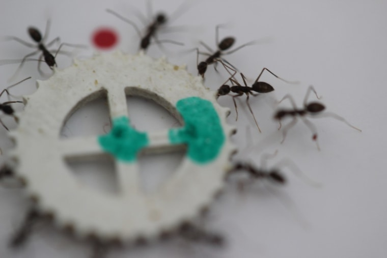 Longhorn crazy ants cooperate to carry an item during the experiment.