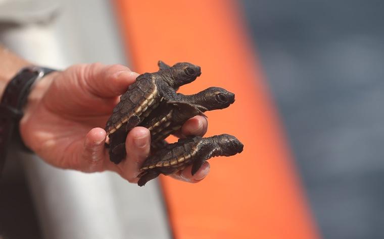 Image: Sea Turtles Hatchlings