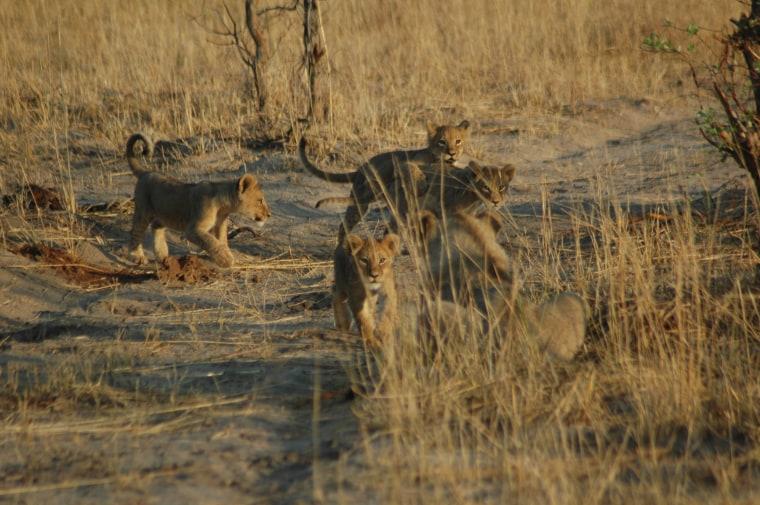 Image: Cecil the lion's cubs