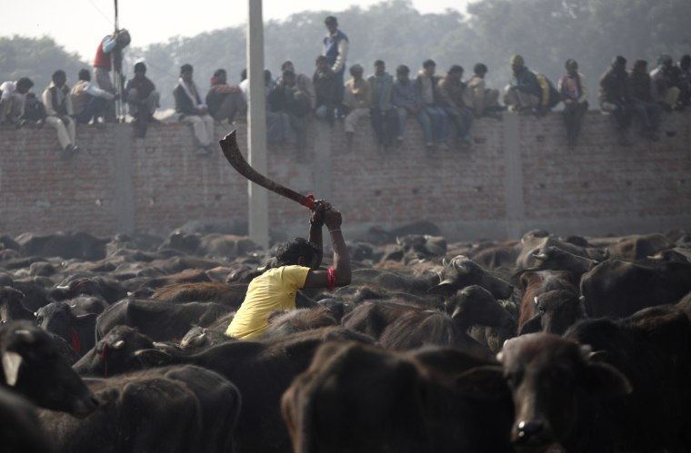 Image: A man takes part in a mass sacrifice of the buffalos near Gadimai Temple at Bara District