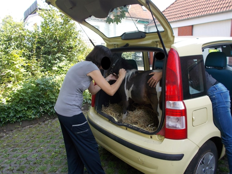 Image: A woman was stopped by police while transporting a Shetland pony in her car's hatchback