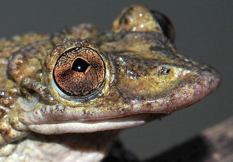 First Known Venomous Frogs Could Kill You with a Head Butt