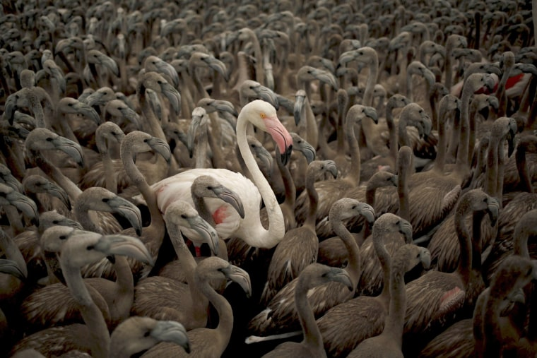 Image: Flamingo and flamingo chicks are seen in a corral