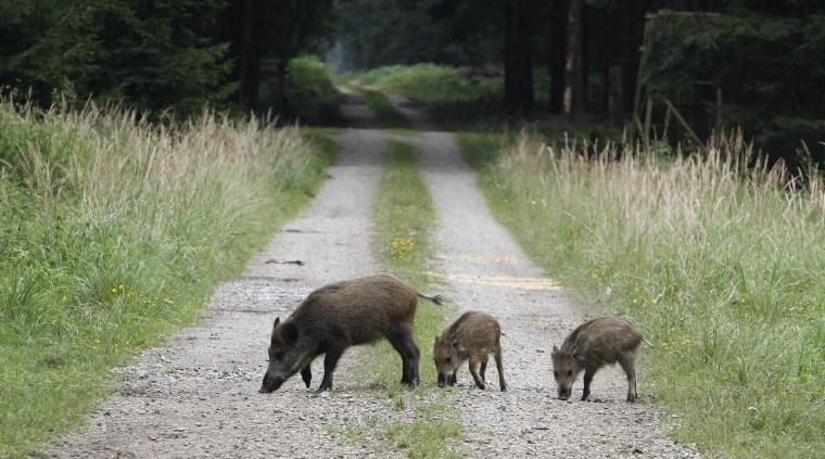 Image: Wild boar in Germany