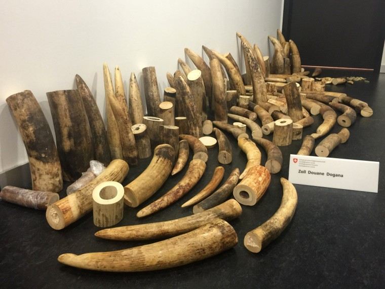 Image: Elephant tusks seized at Zurich's airport are seen on August 4.