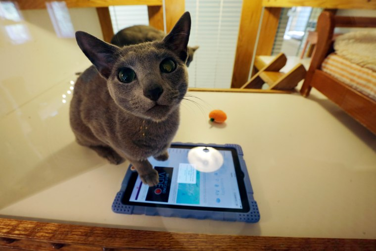 Russian blue cat, Anastasia, rests on a handheld device that has videos of running mice, in an enclosure with small beds, video and a clock, for pampering cats on Aug. 4 at Morris Animal Inn in Morristown, New Jersey.