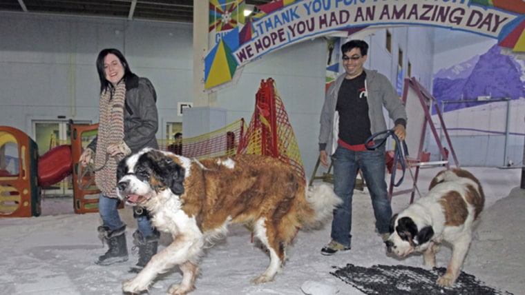St Bernard dog visit to Chill Factore