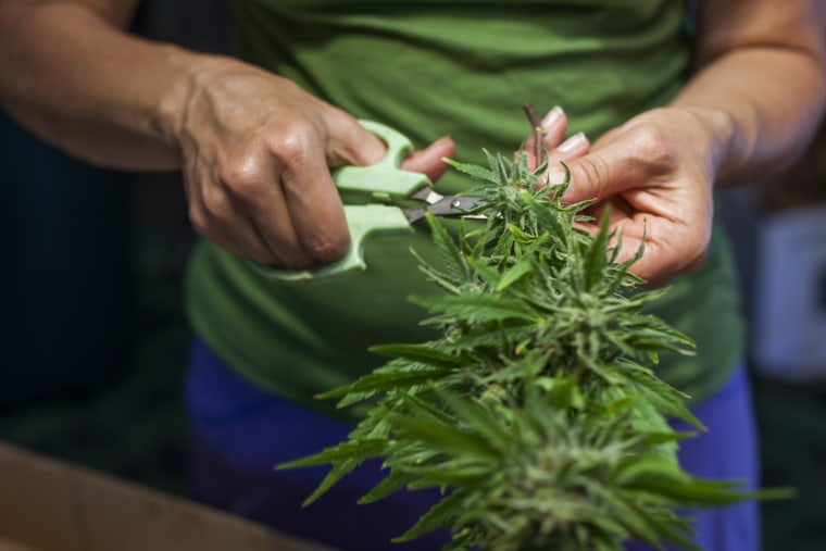 Fledgling Marijuana Industry Pressing Through Labor Pains