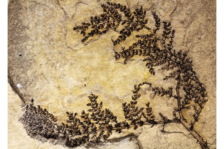A rare, intact Monsechia fossil showing much of the plant's morphology.
