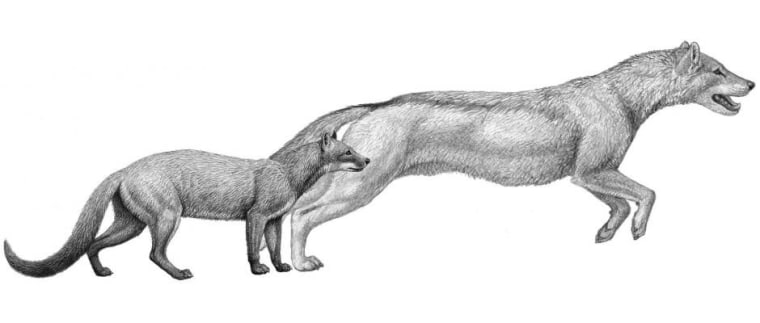 Early dogs were smaller and preferred to ambush prey, while later wolf-like dogs tracked and ran down theirs.