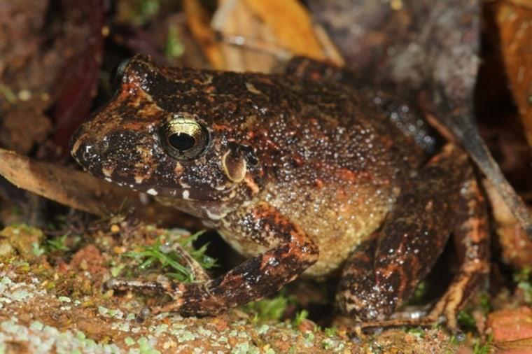 Image: Robber frog