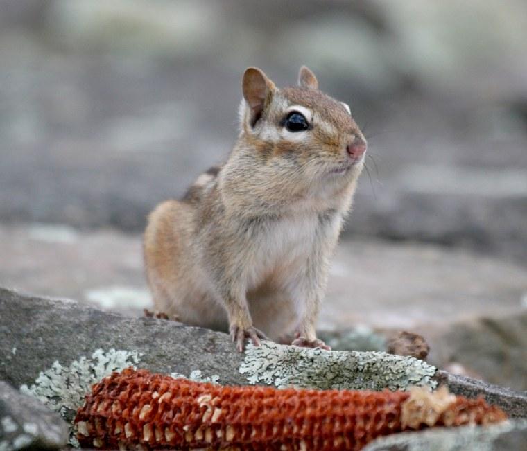 Image: chipmunk