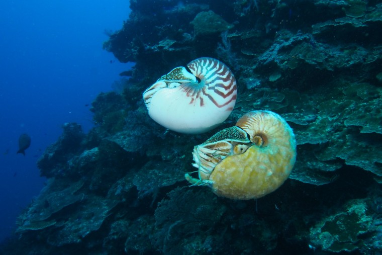 Allonautilus (bottom) and the more common Nautilus pompilius swim together off the coast of Ndrova Island in Papua New Guinea.