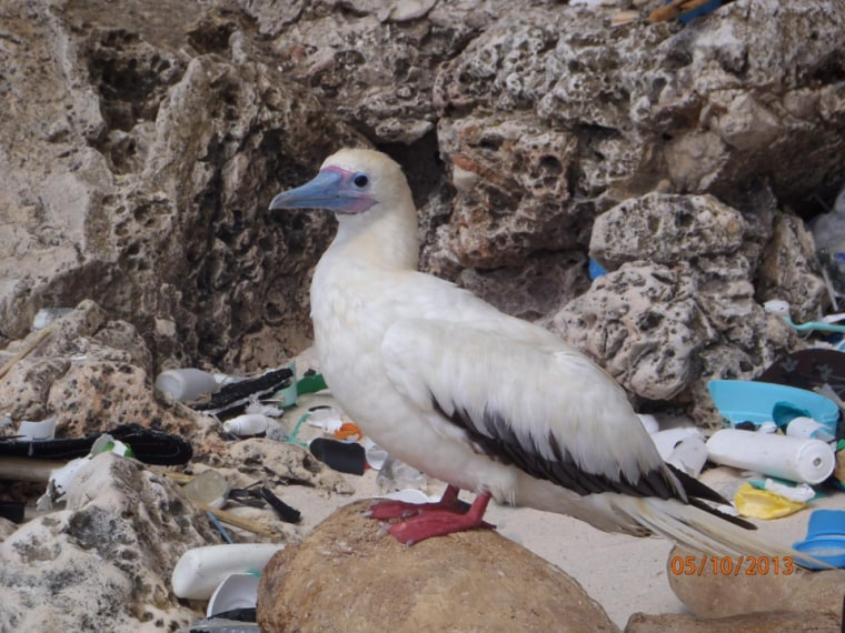 Image: Red-footed booby