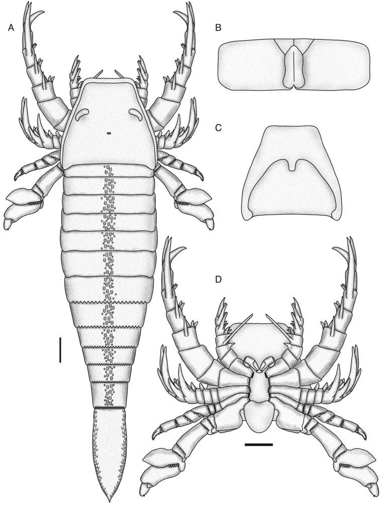 Illustration showing the general presumed shape of Pentecopterus. The scale bar is 10 centimeters, making this adult some six feet from tip to tail.