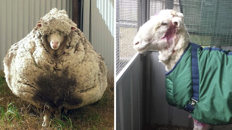 """""""Chris"""" before and after his shearing."""