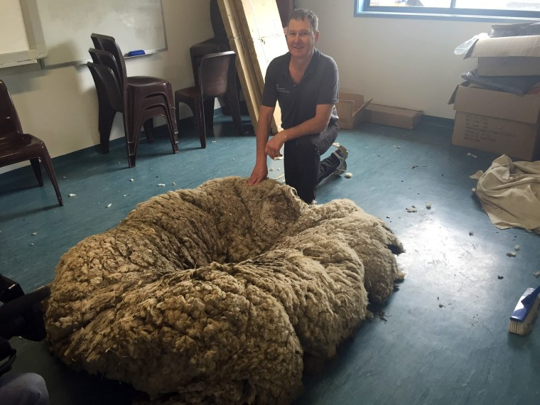 Image: Wooly Merino sheep in Canberra
