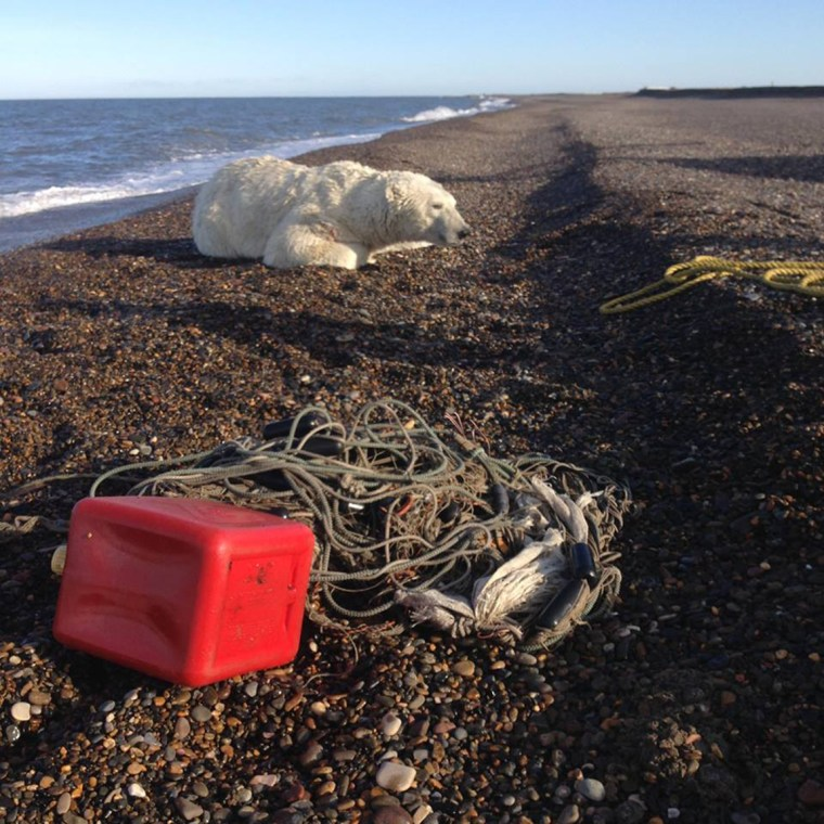 Image: Rescued polar bear