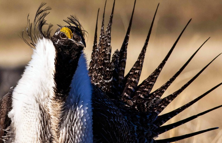 Image: a sage grouse
