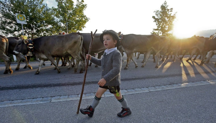 "Image: A Bavarian boy escorts cows during the traditional ""Almabtrieb"" in Oberstaufen"