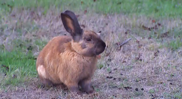 Countless wild rabbits are digging up a middle school football field in Langley, Wash.