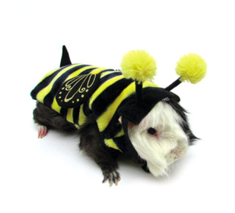 small pets like guinea pigs can celebrate halloween too with fun cute costumes