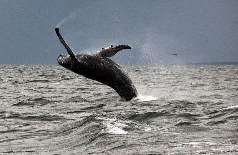 Image: A humpback whale breaches the water in Long Island Sound