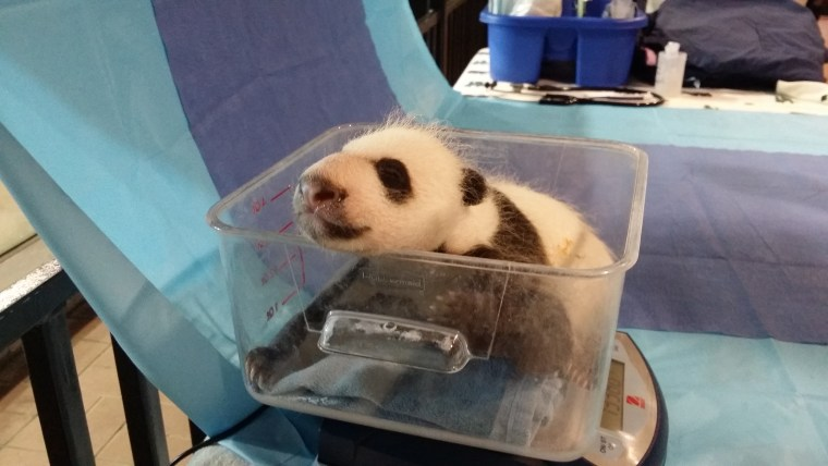 Keepers had an opportunity to weigh the 4.5 week-old giant panda cub yesterday, Sept. 21, when Mei Xiang left her den to eat. He weighs 2.95 pounds (1,339 grams) and has now surpassed both of his older siblings in size when they were the same age.